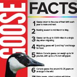 What Every Property Owner/Manager Needs to Know About Geese