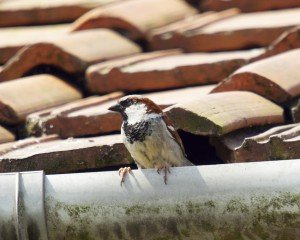 Nesting Birds on Your Home? How to Get Rid of Them