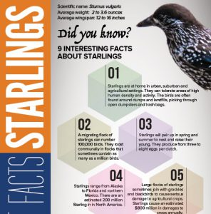 Facts About Starlings an Infographic